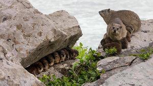 Tamaamit näyttävät pieniltä ja suloisilta, mutta ovat oikeita hurjapäitä loikkiessaan jyrkillä kallioilla.