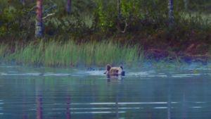 Karhun valtakunta: karhu uimassa