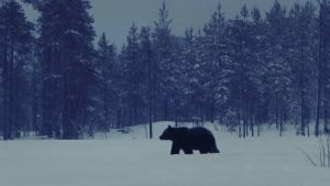Karhun valtakunta: karhu lumihangessa