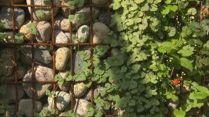 Klätterväxter på armeringsjärn