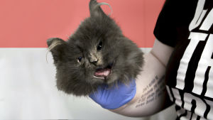 Ihminen pitää kädessään nyljettyä kissan kasvonahkaa.