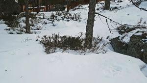Snö i en skogsdunge. I snön synns stora spår efter ett hunddjur.