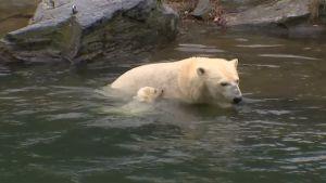 Isbjörnen Tonja med sin unge.