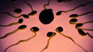 Spermier som omringar en äggcell.