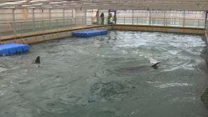 En av bassängerna där de infångade djuren hålls i östra Ryssland.
