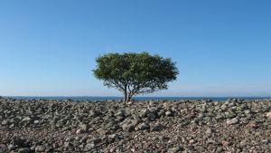 Ett ensamt träd på ön Jurmo.