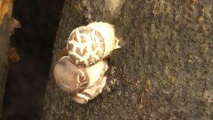Shiitake, en svamp som växer på en trästubbe i Karislojo.