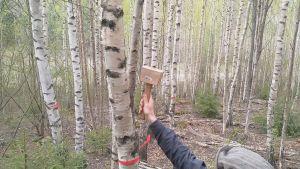 Henri Lokki bankar in ympningstappen med mycel av sprängticka i en björk.