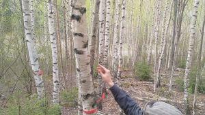 En ympningstapp med mycel från sprängticka ympas i en björk.
