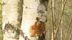 Mörk vätska som rinner ut ur en björk där sprängtickan börjar växa.