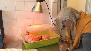 Kvinna tittar på ett terrarium där två andungar bor i Åbo djurskyddshem.
