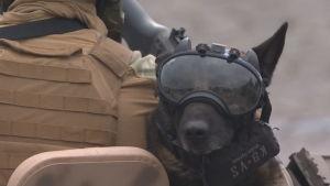 En insatshund på militärparad i Paris.