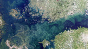 Satellitbilden visar blågrönalger den 24 juli 2019. De ljusgröna områdena i havet är blågröna alger blandat i vattnet.
