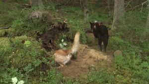 Jakthundar jagar och skäller på mårdhund i ett gryt.