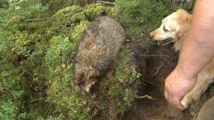 Död mårdhund som jakthunden suktar efter.
