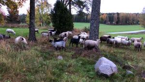 Får i olika färger ute på grön betesmark.