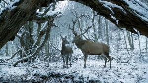 Saksanhirviuros ja -naaras lumisessa metsässä. Kuva elokuvasta Kosketuksissa (2017)