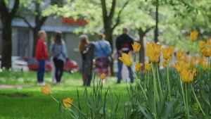 Etualalla keltaisia tulppaaneja, takana ihmisiä seisomassa puistossa.