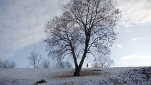 Ville Naumanen kävelee laajassa kuvassa koivun juurella.