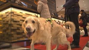 Hund som checkar in på hotell under nyårsaftonen.