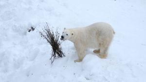 Ranuan Eläinpuiston jääkarhu
