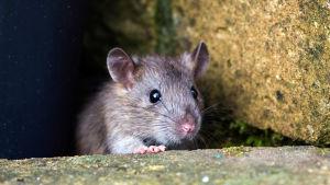 Kuvassa rotta.
