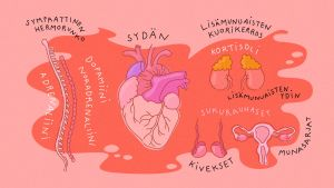 Kuvitetussa kuvassa sympaattinen hermosto, sydän, munasarjat, kivekset ja munuaiset.