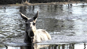 en älg i vattnet tittar in i kameran