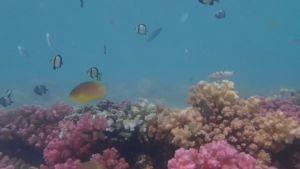 Koraller i Stora Barriärrevet