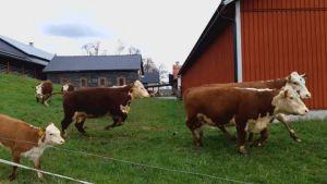 Springande kor utanför en röd ladugård.