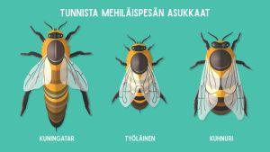 Mehiläispesän asukkaita ovat kuningatar, kuhnuri ja työläinen