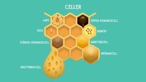 Tecknad bild av de olika cellerna i en bikupa.