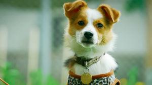 Ruskea-valkoinen pieni koira katsoo kameraan korvat lurpallaan.