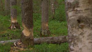 Trädstammar som gnagats av kanadensisk bäver.