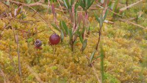 Ett tranbär på mossa i en myr.