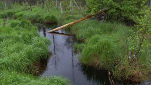 Ett träd fällt av bäver i ett vattendrag.