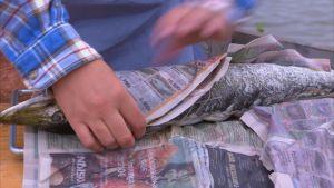 gädda inlindad i tidningspapper.