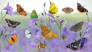 Erilaisia perhosia lentämässä