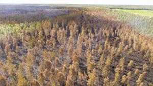 Metsäpalon jälkiä Muhoksella