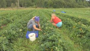 Två kvinnor som plockar jordgubbar.