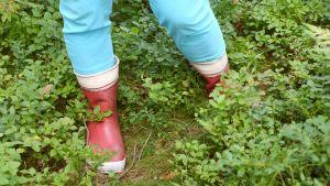 Stövlade ben bland blåbärsris