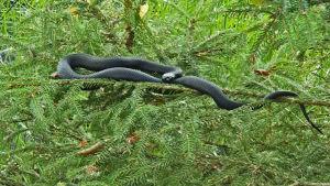 Musta käärme kuusenoksalla.