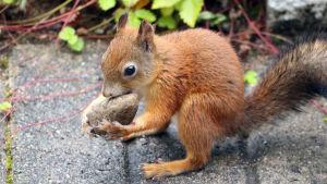 Orava pitelee kiveä.
