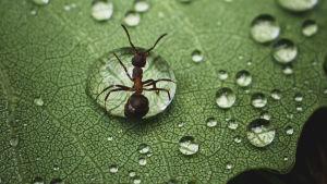 Muurahainen vesipisarassa lehden päällä.