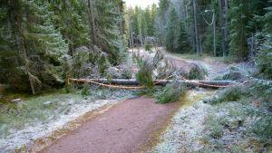 Omkullfallet träd över skogsstig i Borgå
