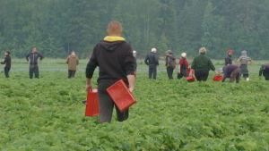 Säsongsarbetare plockar jordgubbar