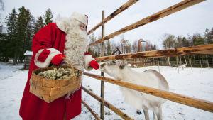 Joulupukki syöttää poroa