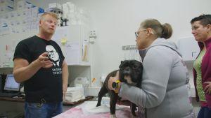Tiineenä oleva ranskanbulldoggi seisoo eläinlääkärin tutkimuspöydällä.