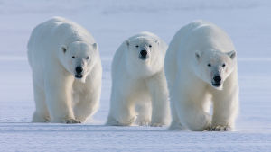 Kolme jääkarhua.