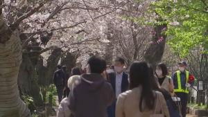 Körsbärsblomning i Japan
